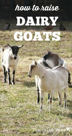 Whether you are looking to buy a dairy goat, or you are just curious about dairy goats, this post will give show you how to raise dairy goats successfully. http://thepaleomama.com/2015/07/how-to-raise-dairy-goats/