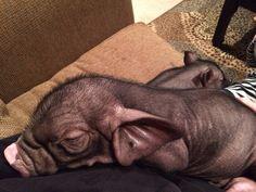 Meishan piglet Charming Mini Pigs