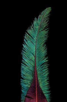 Robert Clark - The Golden-headed quetzal of South America is brightly colored, with iridescent feathers.