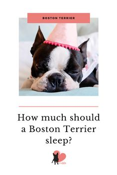 Boston Terriers play hard, but when it comes to sleeping. They sleep hard too. How much should a Boston Terrier sleep? Dog Sleeping Positions, Sleeping Dogs, Boston Terrier Temperament, Boston Bull Terrier, Every Dog Breed, Dog Facts, Working Dogs, Dog Behavior