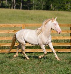 A perlino (bay + 2 cream genes) Lusitano gelding. Lusitanos hail from Portugal and are closely related to the Andalusian. There are about 4,000 Lusitanos in Portugal and very few in the U.S. See more lovely photos at http://www.donemor.com/sale.html