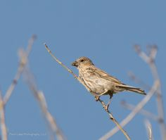 House Finch ©Kevin Rutherford. Wild Bird Company - Boulder, CO, Saturday Morning Bird Walk in Boulder County - August 22, 2015