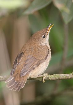Reed Warbler...i love birds!!!!!