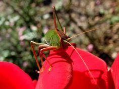 Grasshopper & Rose