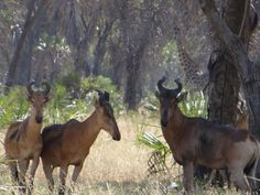 The #Lichtenstein's #hartebeests are quite shy. There are 9 subspecies of hartebeests and they can be identified by the shape of their horns. In #Saadani you will find a herd that has adopted a waterbuck and in exchange there is a herd of waterbucks with one lonely hartebeest joining them.