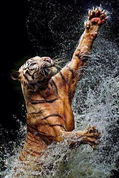 Tigre de bengala en acción.