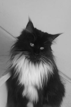 Main Coon Snoes <3 http://www.mainecoonguide.com/maine-coon-vs-norwegian-forest-cat/