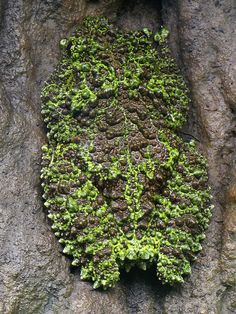 Theloderma corticale--Vietnamese mossy frog