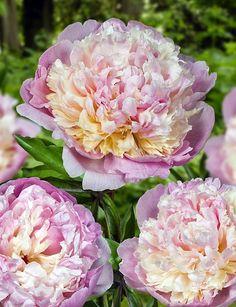 Madame Calot Peonies are Double Flowered & Scented! Flowers Nature, Exotic Flowers, Fresh Flowers, Beautiful Flowers, Arrangements Ikebana, Flower Arrangements, Peony Flower, My Flower, Paeonia Lactiflora