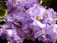 african violet flower pictures | African violet - Blue dragon | Flickr - Photo Sharing!