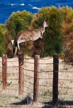 Flying kangaroo - Cape Jervis, South Australia.   by Ian Fegent