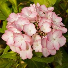 Hortensia - Hydrangea macrophylla Sabrina