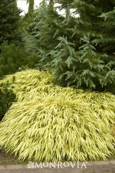 Monrovia's Golden Japanese Forest Grass details and information. Learn more about Monrovia plants and best practices for best possible plant performance.