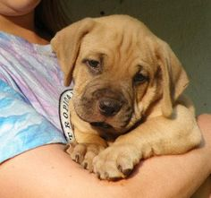 lab/mastiff...one of my favorite combinations!