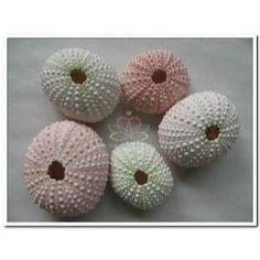 http://www.goedkoop-bloemschikken.nl/6251-thickbox/zeeegel-zak-25-stuks-sea-urchin-pink.jpg