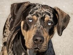 puppy - Catahoula.  I now believe that Rowdy is a Catahoula mix ... he has this coloring but the body more like a Bluetick ... we'll never know of course ... but regardless, hes beautiful as is this pup!