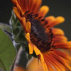As fall nears, sunflowers are beginning to die off and it's time to harvest their seeds! In this post I bring you through the steps to harvest and prepare your sunflower seeds for eating!
