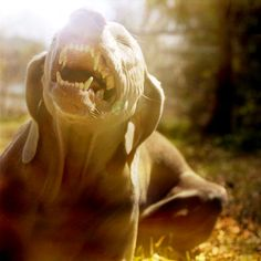 laughing weim...