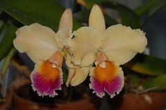 Pot Victorian Lady Arbec AM/AOS x Blc. Roy Fukumura (Only Orchids)