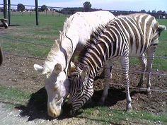 Albinismo (172)Equini Zebre