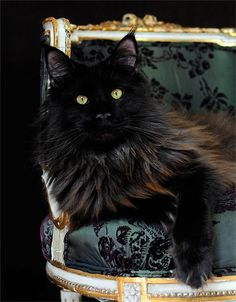 """""""I'm use to the finer things in life...purr!"""" #cats #pets facebook.com/sodoggonefunny"""
