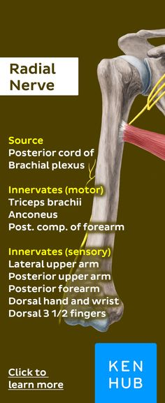 Pin and click this image to learn more about the radial nerve! Hand Therapy, Massage Therapy, Physical Therapy, Nerve Anatomy, Human Anatomy, Forearm Anatomy, Shoulder Anatomy, Radial Nerve, Medical Anatomy