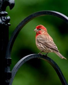 House Finch by Kenton Miller on 500px