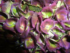Hydrangea Magical Revolution Classic Purple/Green
