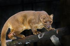 Meet the euplerids, the strange carnivores of Madagascar / The fossa looks more like a pint-sized panther than the animal it's more closely related to: the mongoose.