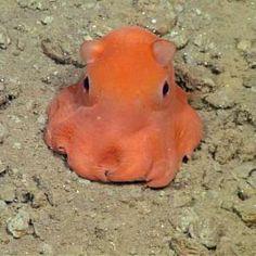 Pink octopus so cute it may be named 'adorabilis'  http://a.msn.com/r/2/AAbJESu