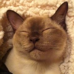 Bacon - 8 month old Tonkinese Whiskers On Kittens, Cats And Kittens, I Love Cats, Cute Cats, Oriental Cat Breeds, Domestic Cat Breeds, Cat Empire, Tonkinese Cat, Puppies And Kitties