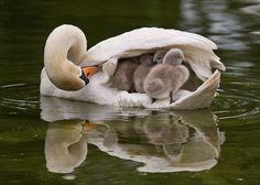 Maman et bébés cygnes