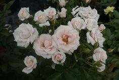 Majolika - Ludwigs RosesLudwigs Roses