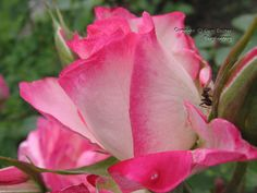 Fairyhungary: A rózsa... Rose, Flowers, Plants, Pink, Plant, Roses, Royal Icing Flowers, Flower, Florals