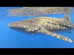 ▶ Whale Shark (© Jeff Hogan / Cascadia Research Collective)