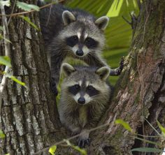 Watching wildlife watching photographer. Silver River State Park covers almost 5,000 acres and is home to many species, including armadillos, deer, turkey, fox, squirrels, gopher tortoises and raccoons.
