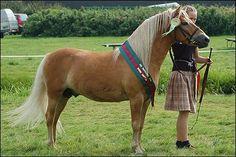 gotland pony | Gotland Pony - stallion Lustig | Gotland Pony | Pinterest