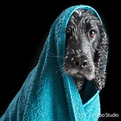 Mollie the Cocker Spaniel After Her Bath : Zoo Studio – Pet Photography Brisbane