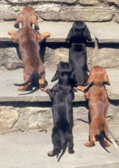 hahahahhaha one of my favorite things is when the weiner dogs are on their hind legs and a group of them doing this is sooooooooooooo stinkin cute.
