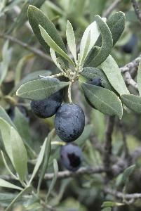 Olive Leaf Extract: Health Benefits  This is my go-to supplement to fight infections and sinus issues. This works better for me than the antibiotics the doctor gives me. I take these with the nettie pot and sinus spray.