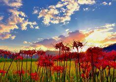 https://flic.kr/p/y5xhje | Autumn daybreak | 日の出直後に彼岸花を入れて爽やかな秋風景としました。逆光著しいのでActive D-LightingとD-Lightingをかなり効かせております。太陽周囲の白トビはやむを得ませんでした。
