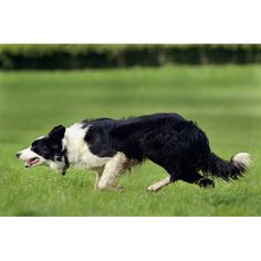 Working Sheepdog Bill - sired by Aled Owen's Bob