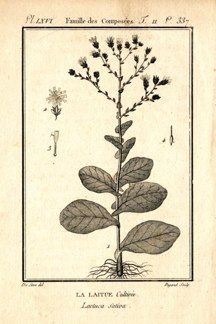 "buffon botanical french 1775 engraving 4 x 6""  $25 - 07"