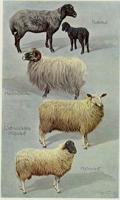 Matted Antique Sheep Print C. 1900 by AntiquePrintBoutique Baa Baa Black Sheep, Sheep Breeds, Sheep Art, Farm Yard, Watercolor Animals, Rare Antique, Cattle, Farm Animals, Vintage Decor