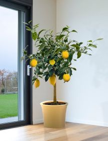 Indoor Vegetable Gardening How To Plant and Keep an Indoor Lemon Tree - When winter comes to Italy, the lemon trees potted in terra cotta get moved indoors Lemon Tree Potted, Indoor Lemon Tree, Lemon Plant, Citrus Trees, Fruit Trees, Indoor Vegetable Gardening, Planting Vegetables, Hydroponic Gardening, Container Gardening