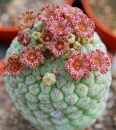 Larryleachia cactiformis | Leo González | Flickr