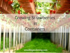 Growing Strawberries in Containers with Sensible Gardening Boughten strawberries cannot compete with a strawberry from the garden. No garden. Complete how to steps for growing strawberries in containers. Potted Strawberry Plants, Strawberry Planters, Strawberry Garden, Types Of Strawberries, Growing Strawberries In Containers, Container Flowers, Container Plants, Strawberry Price, Strawberry Varieties