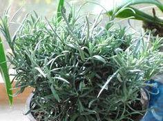 Resultado de imagen para curry planta
