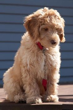 oh my goodness. i love this beyond-words-kind-of-cute australian #labradoodle.