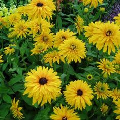 "Rudbeckia Gloriosa Double (1961)This robust selection will reach 36"" in height and features 4-5"" diameter, golden-yellow, double blooms on sturdy stems. The dark center of the flower is also evident on this old classic – perfect for cutting! Flowers through fall!"